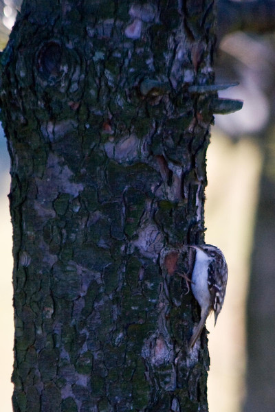 January 12, 2012<br /> <br /> Brown Creeper  # 13<br /> <br /> Found him creeping up the pine trees in the park behind our house...out by the sledding hill.