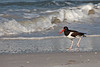 Feb 11, 2013<br /> <br /> Pied Oystercatcher...#101<br />  <br /> Found him along the shores of Clearwater Beach, Florida