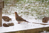 Jan 2, 2012  <br /> <br />  Mourning Dove  # 2<br /> <br /> These little guys were in Auch's backyard...