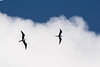 December 28, 2012<br /> <br /> Frigate Bird  #97<br /> <br /> Aruba