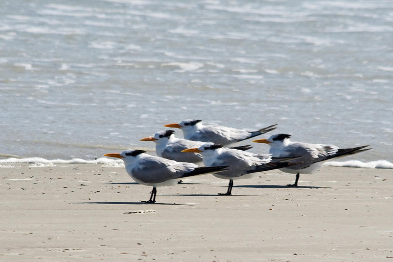 Royal Terns...#37a