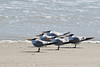 Royal Terns...#37a