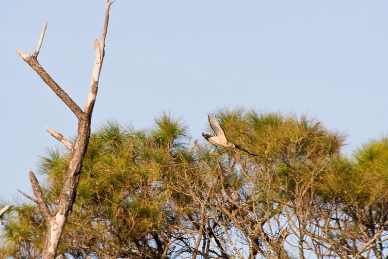 Red-shouldered Hawk in flight...  # 41a