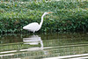 January 24, 2012<br /> <br /> Great Egret  # 30<br /> <br /> St Augustine Beach, Folrida...in a small pond.