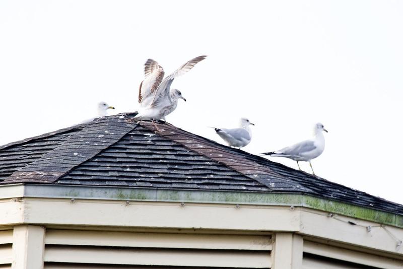 January 24, 2012<br /> <br /> Ring-billed Gulls  # 32<br /> <br /> St Augustine, Florida