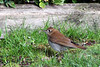 #103   Veery  May 2014---  Member of the Thrush Family.  Seemed to be traveling with a Cat bird.