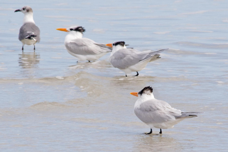 January 25, 2012<br /> <br /> Royal Tern # 37<br /> <br /> Sporting his winter colors...in the summer his head will have more black.