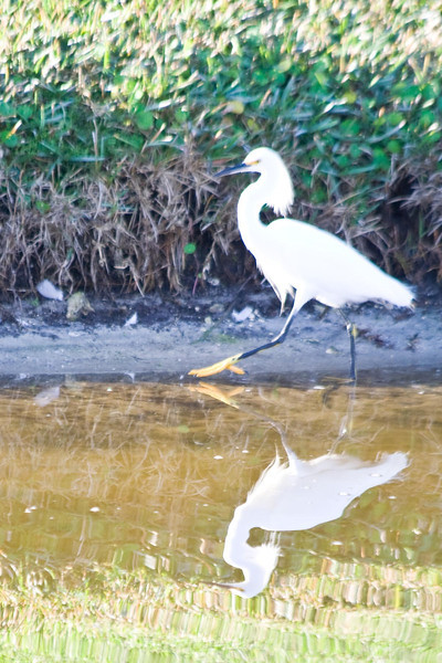 January 25, 2012<br /> <br /> Snowy Egret  # 38<br /> <br /> Fishing in the pond on A1A beach drive.