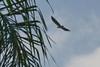 Soaring juvenile Bald Eagle #48a