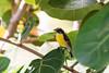 December 28, 2012<br /> <br /> Bananaquit  #94<br /> <br /> Aruba