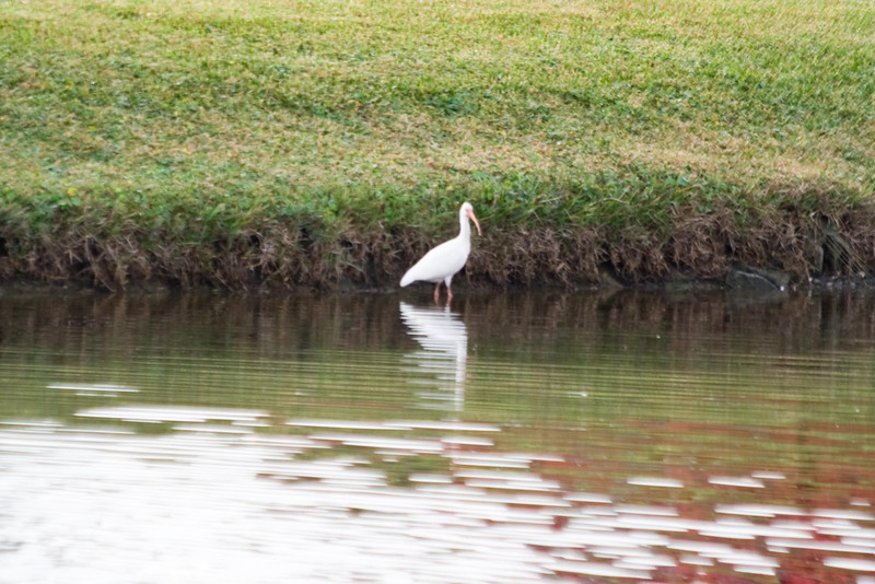 January 24, 2012<br /> <br /> White Ibis  # 34<br /> <br /> Pond in St Augustine, Fl