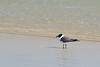 Laughing Gull...#29a