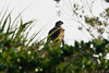 juvenile Bald Eagle  #48b