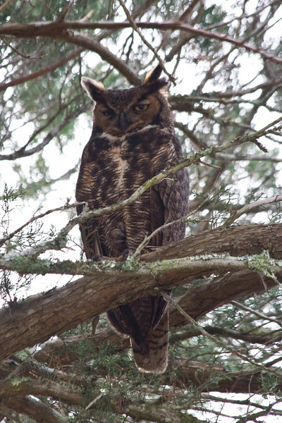 January 24, 2012<br /> <br /> Great Horned Owl # 36<br /> <br /> My treasure of the day.  John and I found a mating pair in a big old tree on the grounds of Fort Matanzas National Monument. St Augustine, Florida. This big guy was keeping watch for his mate who was sitting in the nest.