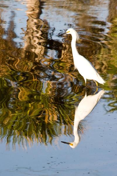 Snowy  Egret # 38a