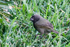 December 28, 2012<br /> <br /> Black-faced Grasequit  #92<br /> <br /> Aruba