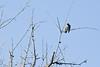 Myrtle Warbler  # 49a