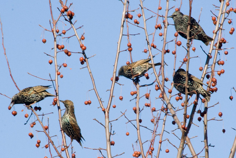 January 6, 2012<br /> <br /> Starlings # 12<br /> <br /> This flock was feeding in a tree near Jill's house...