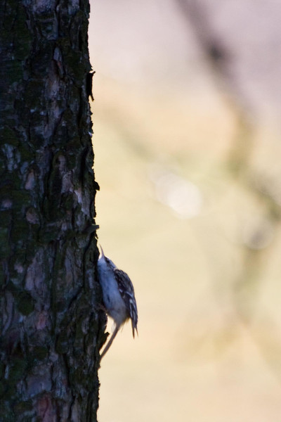 Brown Creeper<br /> <br /> In my bird book it says that the creeper hugs the tree to hide when he feels threatened.