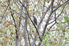 Coopers Hawk 4/21/12  Ford Grounds