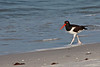 Feb 11, 2013<br /> <br /> Pied Oystercatcher...#101<br /> <br /> Found him running the shores of Clearwater Beach, Florida