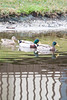 January 24, 2012<br /> <br /> Mallards   # 31<br /> <br /> Lots of them in a pond in St Augustine, Florida...