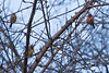 January 4, 2012<br /> <br /> Male and Female House Finch # 5<br />  Female Cardnial  # 6<br /> <br /> In Auch's back tree...