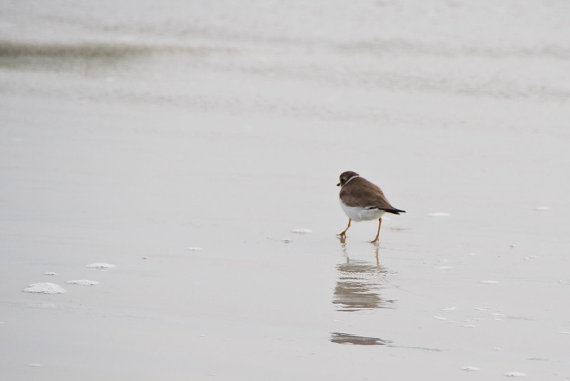 January 23, 2012<br /> <br /> Semi-palmated Plover  # 27<br /> <br /> St Augustine Beach, Florida