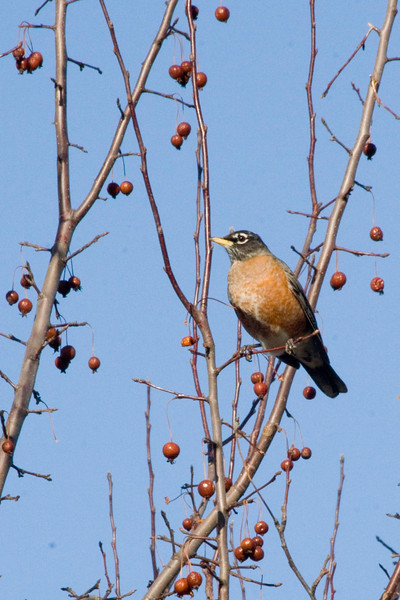January 6, 2012<br /> <br /> American Robin  # 11<br /> <br /> Found this guy on my morning walk...he was busy eating berries.
