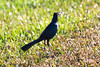 January 25, 2012<br /> <br /> Boat-Tailed Grackle # 39<br /> <br /> St Augustine, Florida