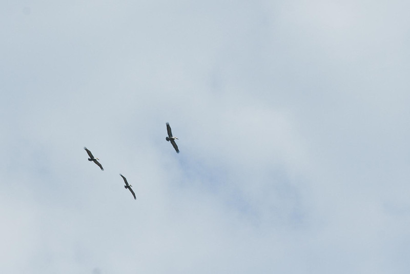 Brown Pelicans...# 25a