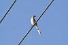 Northern Mockingbird  # 43a