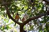 American Robin  #11a<br /> <br /> St Augustine, Fl  1/12