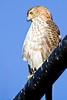 January 11,2012<br /> <br /> Coopers Hawk  #15<br /> <br /> This big guy has been hanging around the neighborhood for quite some time.  I saw him yesterday sitting on the wire behind Auch's house.  He has a pretty good hunting ground with all the bird feeders in that area.