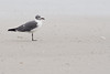 January 24, 2012<br /> <br /> Laughing  Gull  #29<br /> <br /> Found him on the beach in St Augustine...