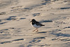 January 22, 2012<br /> <br /> Ruddy Turnstone #24<br /> <br /> St Augustine Beach, Florida