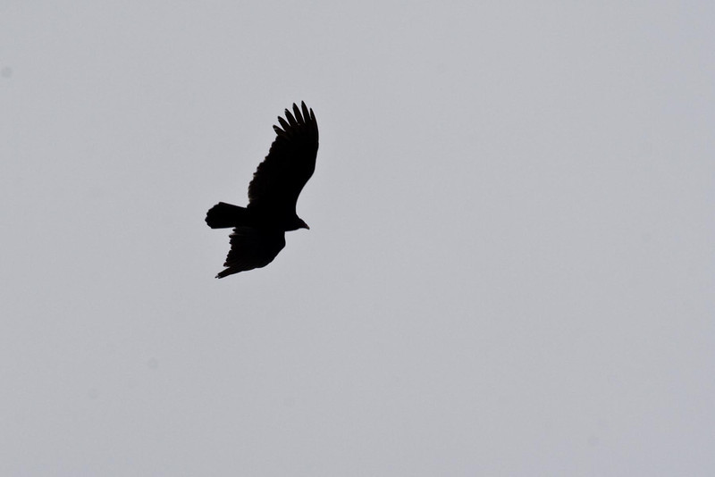 Black Vulture...#28a