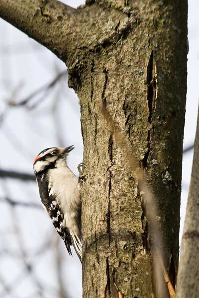 January 16, 2012<br /> <br /> Downy Woodpecker #17<br /> <br /> Discovered him on my morning dog walk today. He was in a tree at the corner of Hawthorne and Lakeshore. The last one I saw was in April of this past year, a female with no red spot.