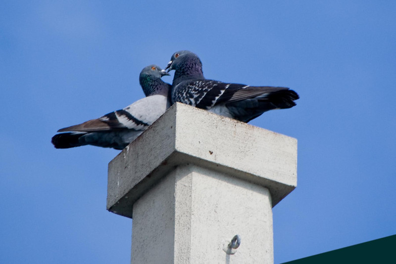 January 22, 2012<br /> <br /> Pigeon  # 23<br /> St Augustine, Florida