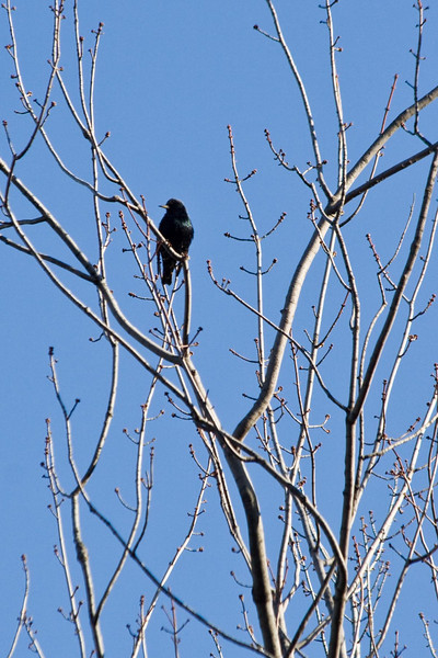January 6, 2012<br /> <br /> Common Blackbird  # 10<br /> <br /> Perched in the tallest tree in the park across from the Ford Mansion.