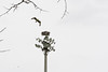 January 27, 2012<br /> <br /> Osprey and nest  # 47<br /> <br /> His nest is a perch built on top of the light pole.