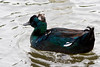 Black Tufted Duck  #44a