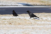 January 19, 2012<br /> <br /> American Crow  # 20<br /> <br /> Found these guys right along the lake  on a cold windy day.<br /> On the shores of Lake st Clair, Michigan