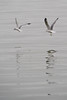 January 12, 2012<br /> <br /> Herring Gull #16<br /> <br /> Saw these two birds flying along the shore of Lake St Clair.  Swooping and diving having a good ole time.