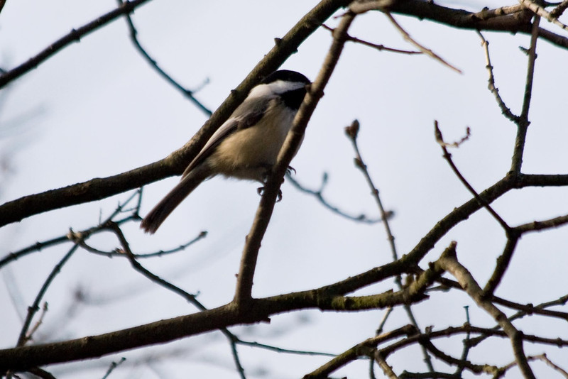 January 4, 2012<br /> <br /> Black-capped Chickadee...# 8<br /> <br /> In the tree by the garage...Michigan