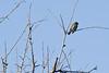Myrtle Warbler # 49b