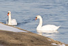 January 19, 2012<br /> <br /> Mute Swans  # 21<br /> <br /> Swimming in Lake St Clair