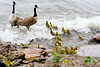 May 5, 2012<br /> <br /> Canada Geese w/babies at Ford House...