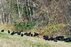 Black Vultures...#28b