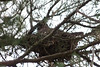 Female Great Horned Owl sitting on her nest while her mate keeps watch...# 36a